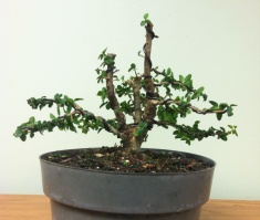 Dwarf Ligustrum - first styling